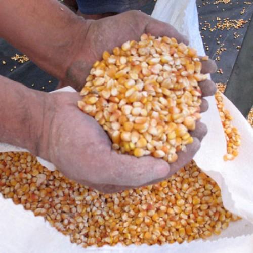 Sementes para agricultores de 21 municípios da região Picos chegam nesta sexta(13)