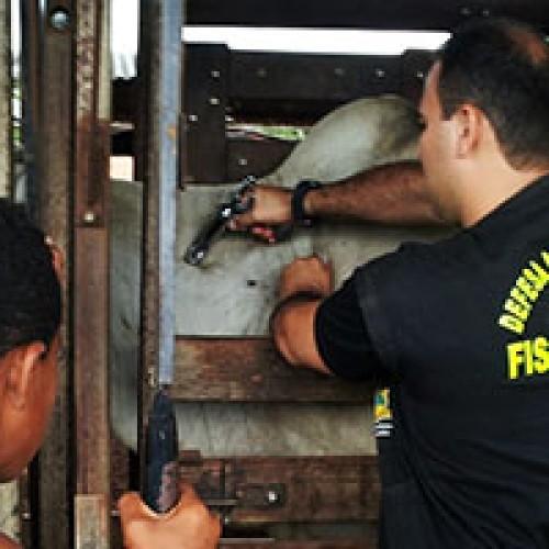 ADAPI/JAICÓS alerta criadores para vacinação contra a febre aftosa dentro do prazo oficial de campanha
