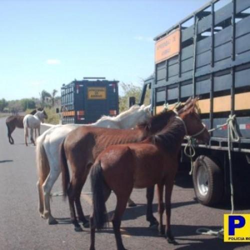 PRF apreendeu 841 animais em rodovias no PI no primeiro semestre
