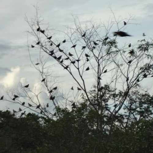 Reprodução de avoantes é ameaçada por caçadores em São Julião