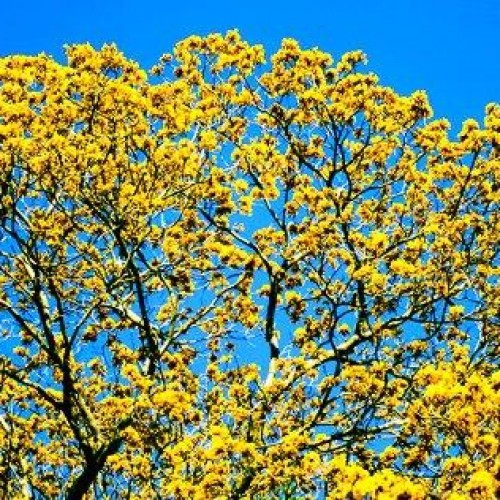 Árvore nativa do Piauí tem substâncias que podem curar a leucemia