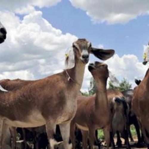 Investimento da Codevasf fortalece caprinovinocultura no Piauí