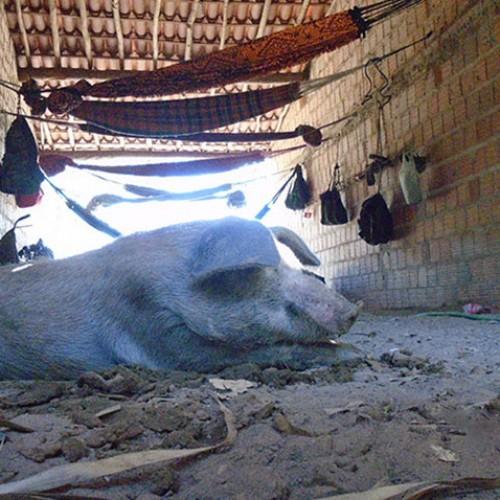 Trabalhadores são achados comendo e dormindo junto a porcos no Piauí