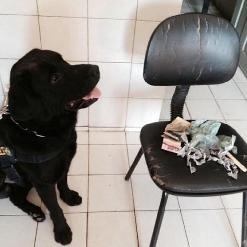 Cão farejador da PRF encontra droga dentro de casa no interior do Piauí