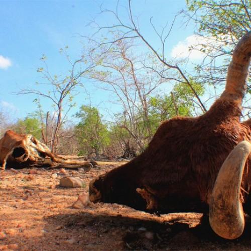 Em 2 anos, Piauí perdeu 20% das cabeças de gado por causa da seca