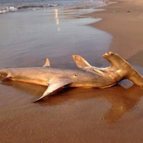 Tubarão morto aparece no Piauí e imagens repercutem na internet
