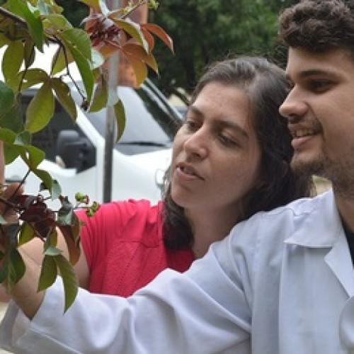 Pesquisadores da UESPI estudam planta típica do Piauí que pode combater Aedes Aegypti