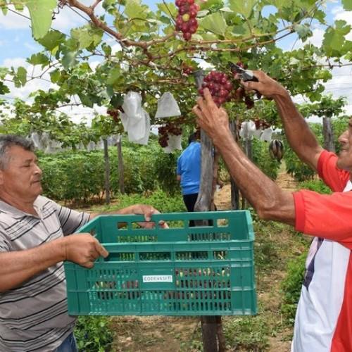 Famílias driblam a seca e investem na plantação de uvas no sertão do Piauí