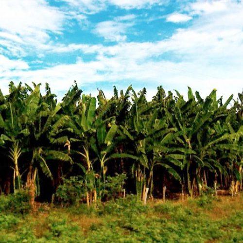 Série especial mostra a rica produção de frutas e verduras no Sul do Piauí