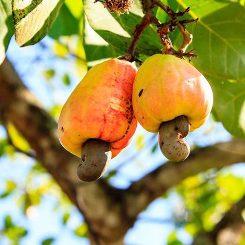 Cocajupi realiza revitalização de pomares de caju em Jaicós e outros 7 municípios da região de Picos