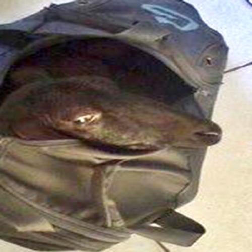 Menor é detido pela PM carregando 'carneiro' furtado dentro da mochila