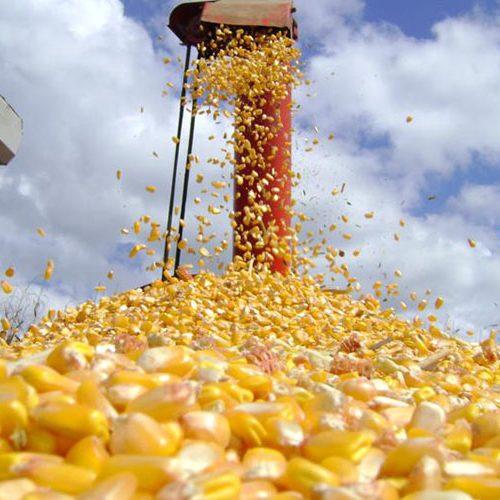Preço alto 'segura' no país milho que seria exportado