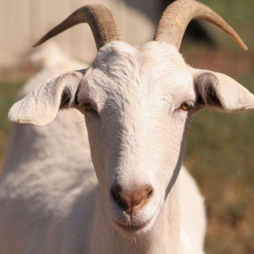 Senado aumenta pena para furto de gado e venda irregular de carne