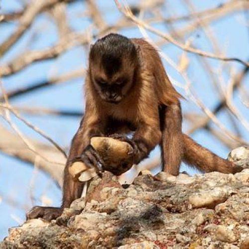 Macacos-prego do Piauí podem ajudar em pesquisas sobre evolução humana