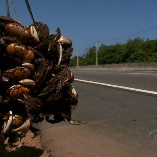 Captura do caranguejo-uçá é proibida em Alagoas e mais nove estados