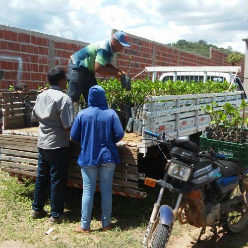 MASSAPÊ | Agricultura distribui 3 mil mudas de caju aos produtores