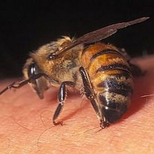 Soro contra veneno de abelhas começa a ser testado