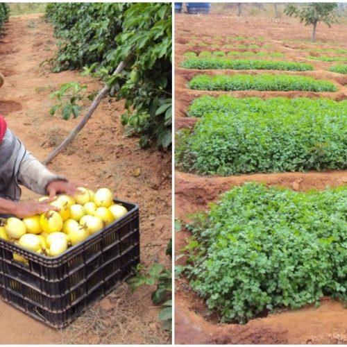 Catolé, localidade rural de Alegrete do Piauí é celeiro da verdura e do maracujá; veja fotos