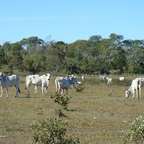 Campanha contra febre aftosa deve imunizar 500 mil bovinos no Piauí
