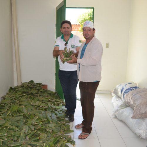 Agricultores de Belém do Piauí são beneficiados com raquetes de palma