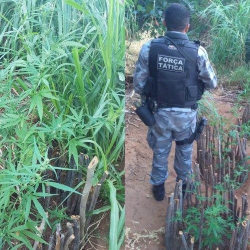 Polícia encontra plantação de maconha e prende 5 pessoas na zona rural de Queimada Nova