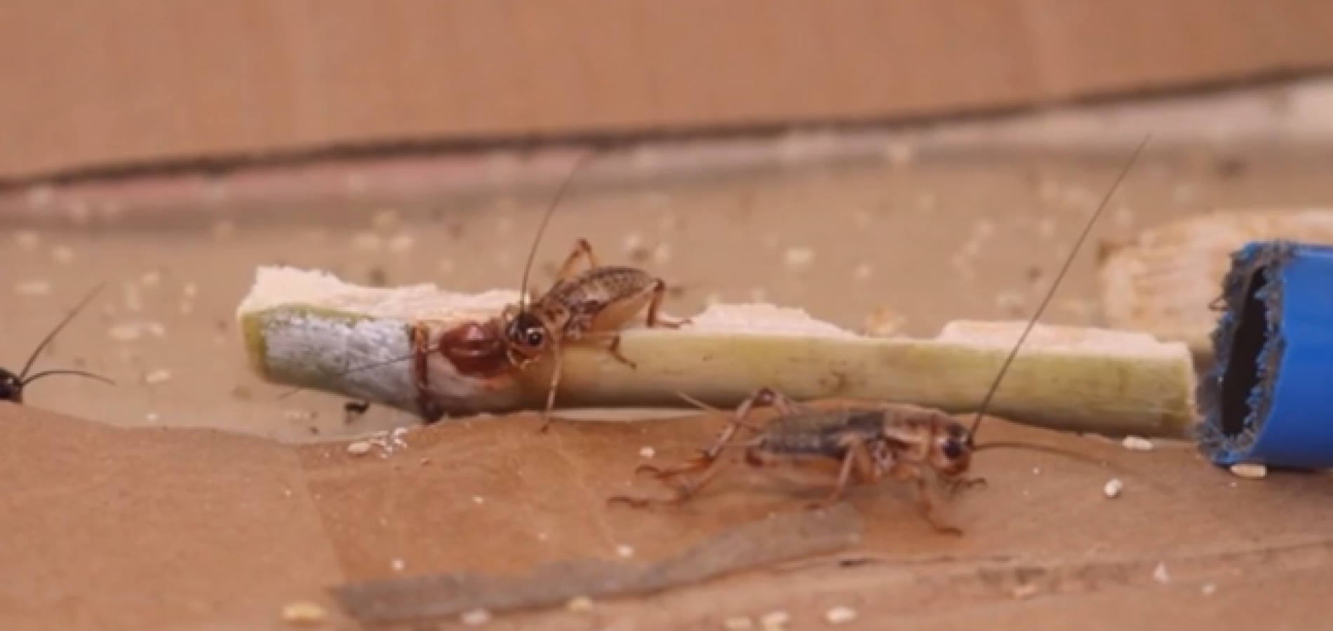 Pesquisa desenvolvida no Piauí utiliza insetos na alimentação animal e humana