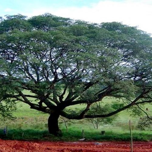 Planta comum no Piauí tem proteína que combate o Câncer