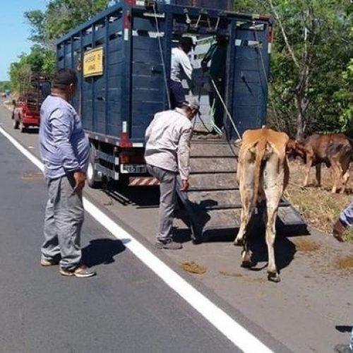 Na véspera do feriadão, operação nas estradas do Piauí recolhe mais de 80 animais