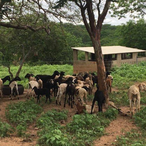 Plantas nativas são alternativas para alimentar o gado na Caatinga sem desmatá-la