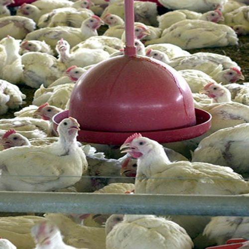 80% dos dos frangos vendidos no Piauí não são inspecionados