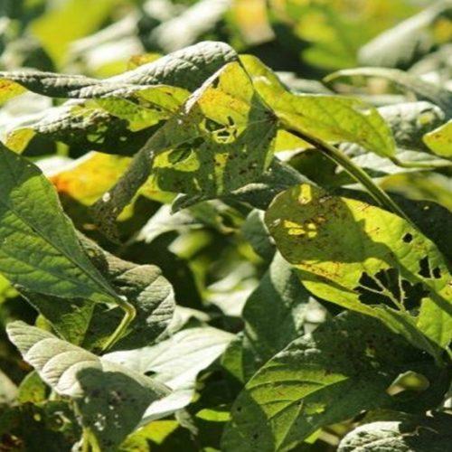 11 casos de ferrugem asiática na soja são registrados no Piauí