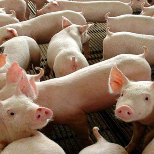 Adapi reúne criadores de suínos de Lagoa e proíbe comercialização