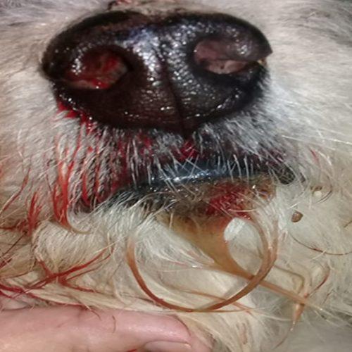 Cão que teria mordido criança tem crânio quebrado e olho perfurado