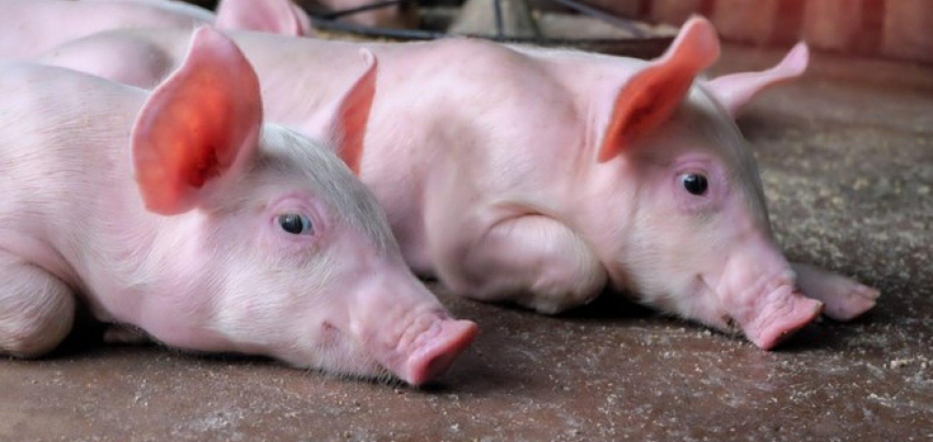 Confirmado segundo foco de peste suína no Piauí; 15 animais sacrificados