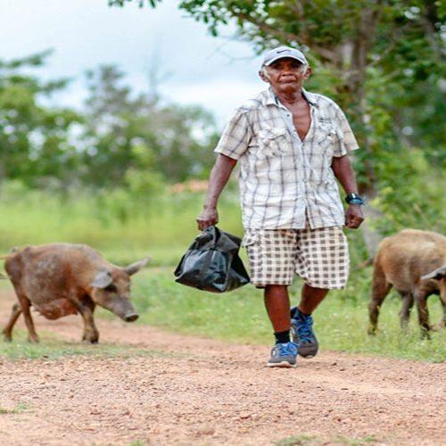 Após focos de peste suína no Piauí, produtores têm prejuízos