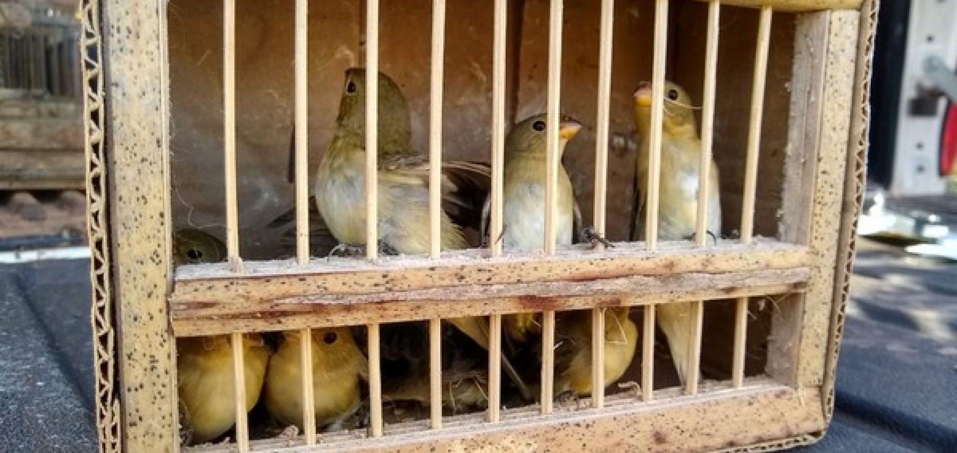 Operação do Ibama resgata pássaros silvestres em feira livre no Piauí