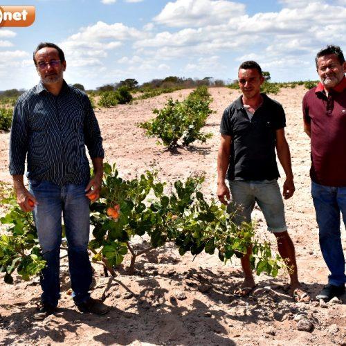 ALAGOINHA | Gestão de Jorismar incentiva a produção do Caju; 60 mil mudas já foram distribuídas