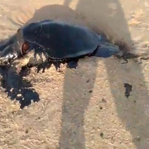 Surfista encontra manchas de óleo em tartaruga morta no litoral do Piauí