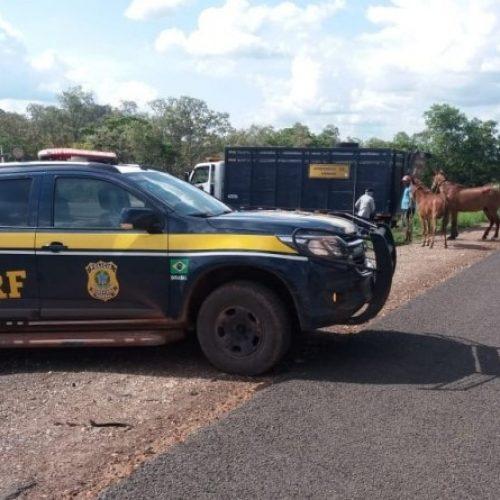 PRF inicia operação de apreensão de animais em todo o estado do Piauí