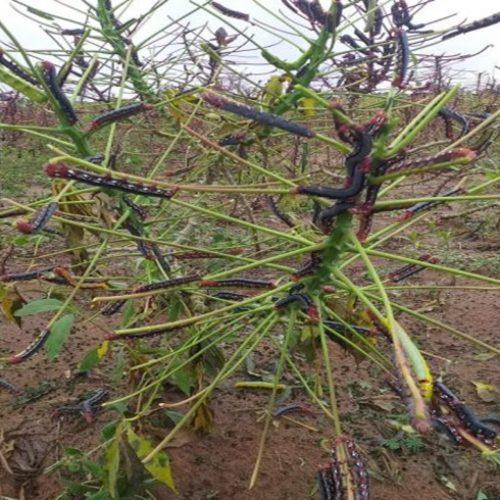Infestação de lagartas provoca prejuízo nas lavouras de mandioca em Araripina