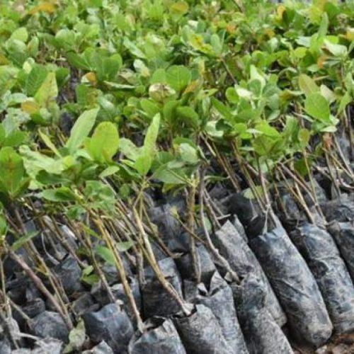Em Alagoinha, Secretaria de Agricultura realiza entrega de 13 mil mudas de caju