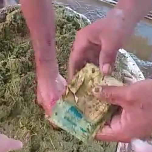 FRANCISCO SANTOS | Boi engole sacola com R$1.500, agricultor abate animal e recupera parte do dinheiro