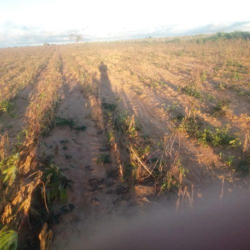Fungos dizimam plantações de mandioca na Chapada do Araripe-PE