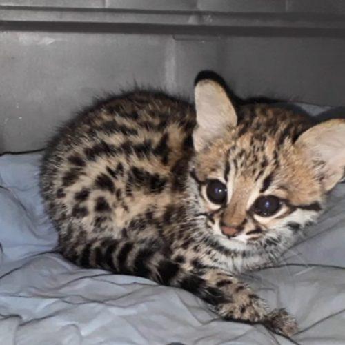 Patrulha Ambiental resgata gato macambira as margens da PI-142, em Simões