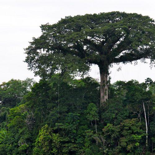 Árvore pode lançar no ar mais de 1.000 litros de água por dia