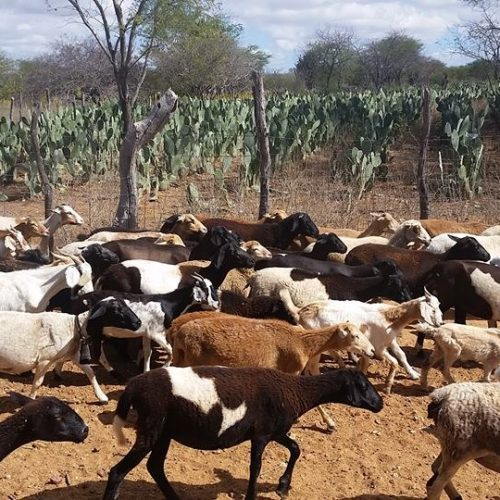 Senar vai fomentar produção de ovinos e caprinos em Jacobina do Piauí