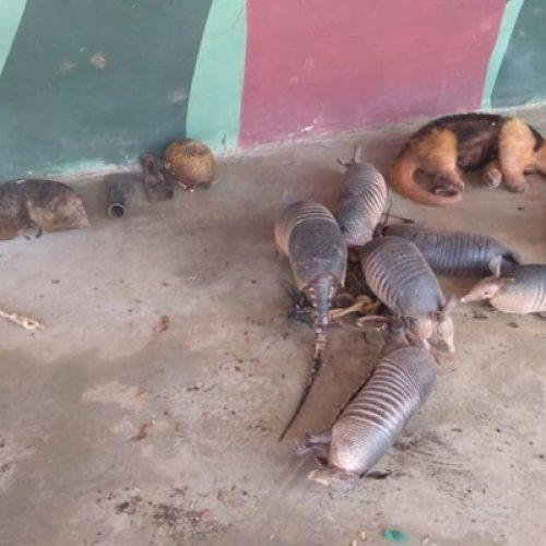 Caçador é preso com tatus e tamanduá no Parque da Serra da Capivara
