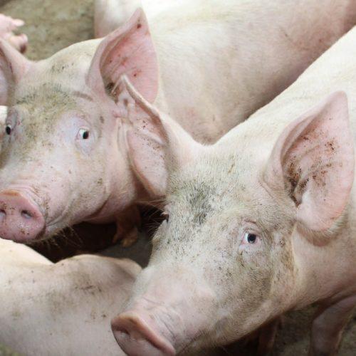 Ministério da Agricultura confirma um caso de peste suína clássica no Piauí