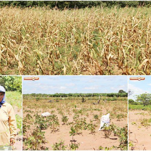 JAICÓS   Com chuvas irregulares, agricultores já registram perda de 60% na safra de feijão