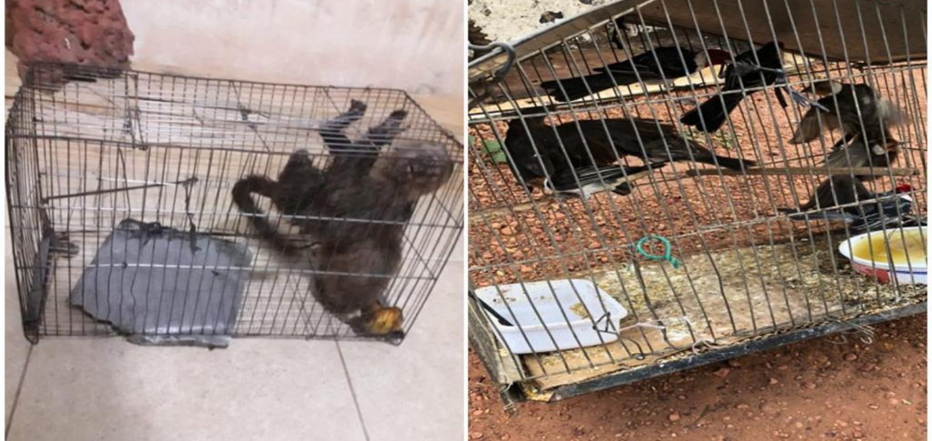 PICOS | Mais de 200 animais silvestres presos em cativeiro são resgatados no povoado Mirolândia